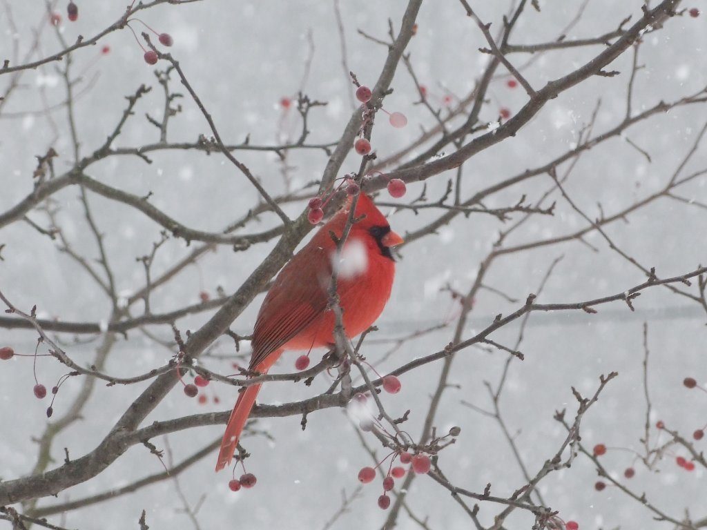 cardinal in the indiana snow1.jpg