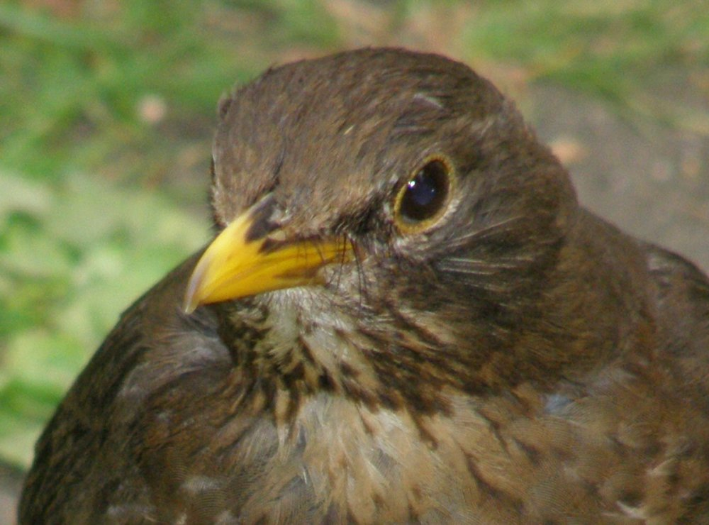 Female Blackbird..jpg