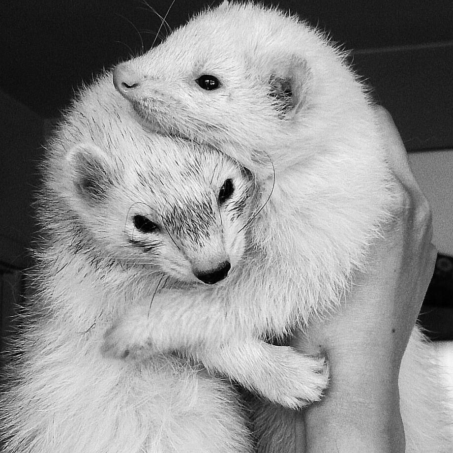 Ferret hug.jpg