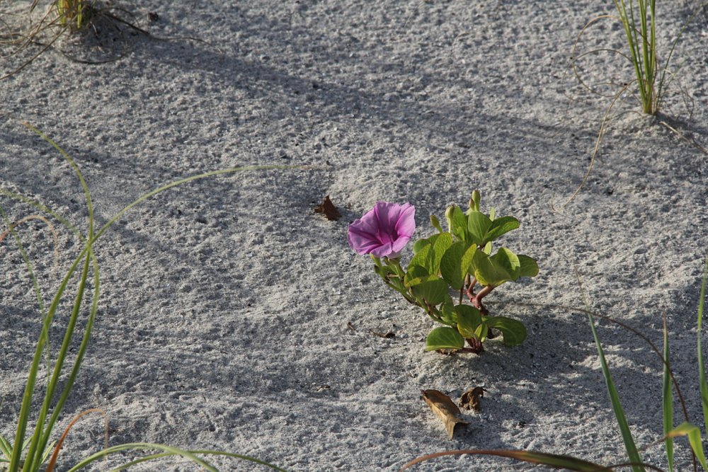 flower on the dunes 2018-07-19.jpg