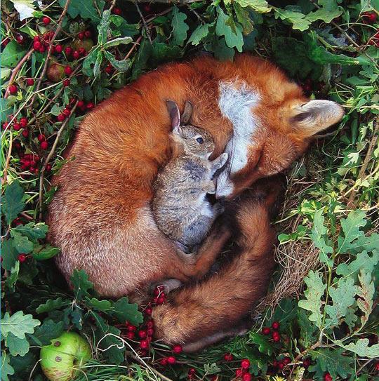 funny-rabbit-fox-sleeping-together.jpg
