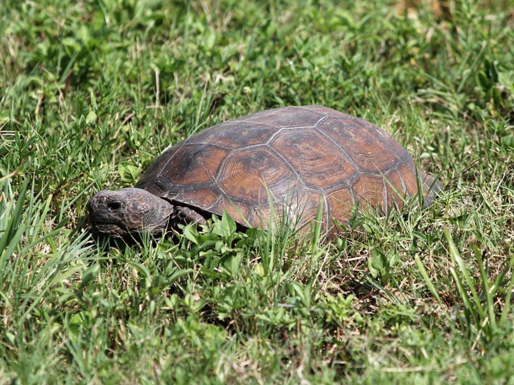 gopher tortoise 2020-05-20.jpg