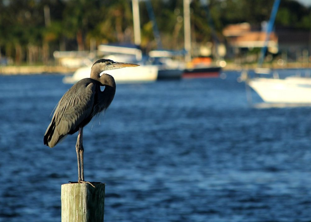 great blue heron on post 2016-11-20-01.jpg