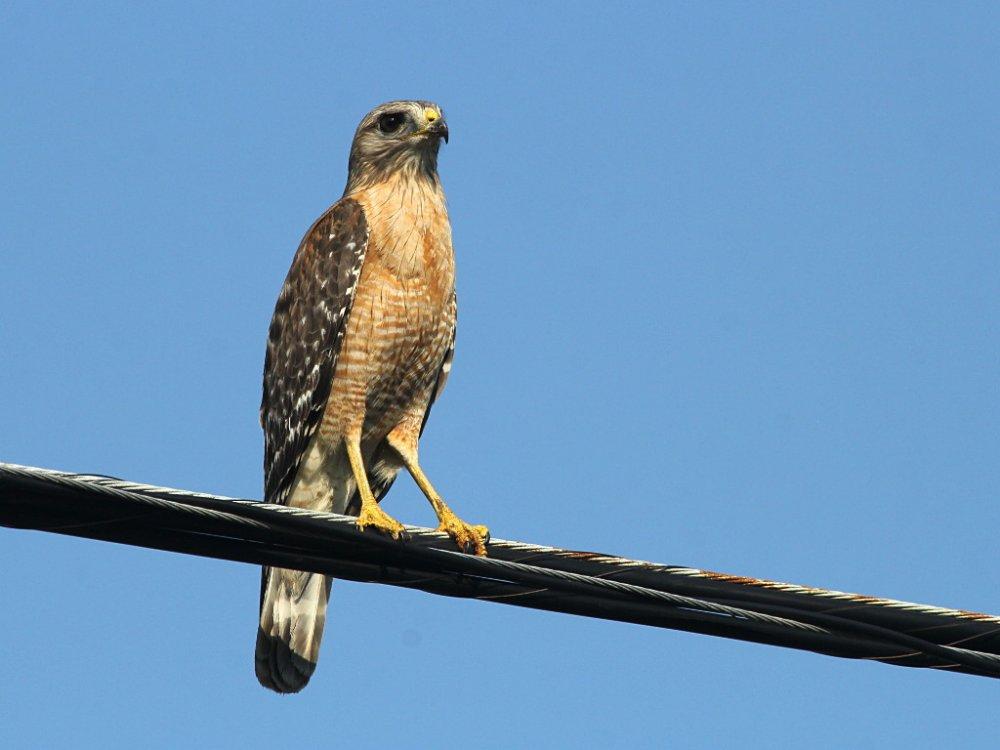 hawk 2020-04-09-01.jpg