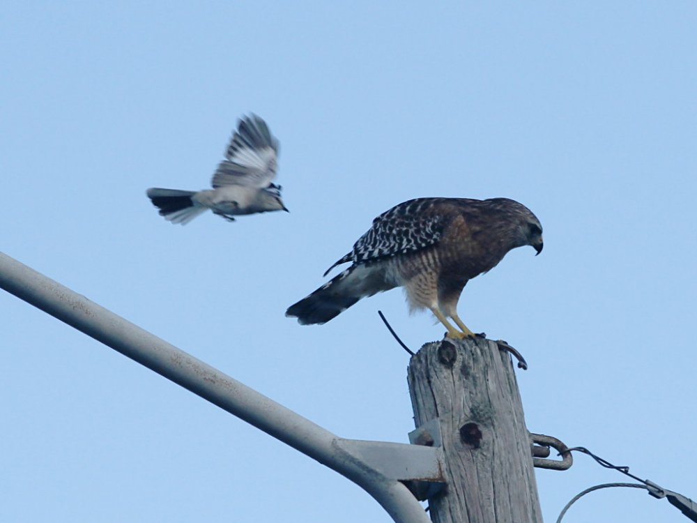 hawk and mocking bird.jpg