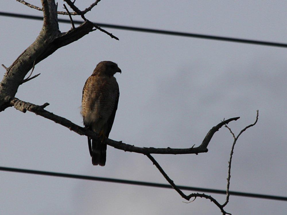 hawk at dusk 2020-06-27-01.jpg