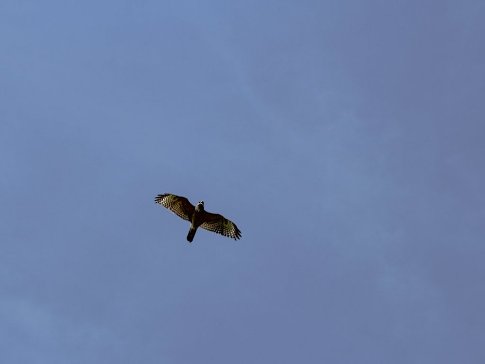 hawk flyover.jpg