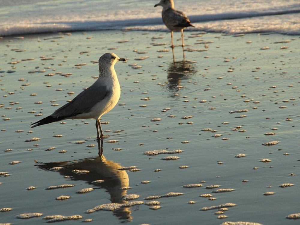 myrtle beach gull1 2015-11-27.jpg