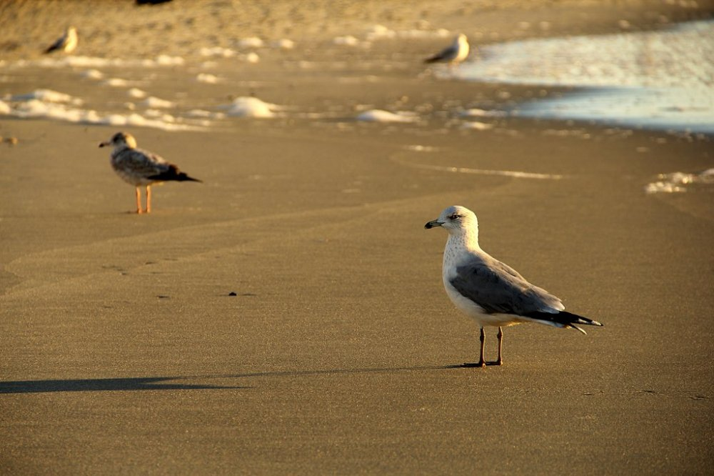 myrtle beach gull2 2015-11-27.jpg