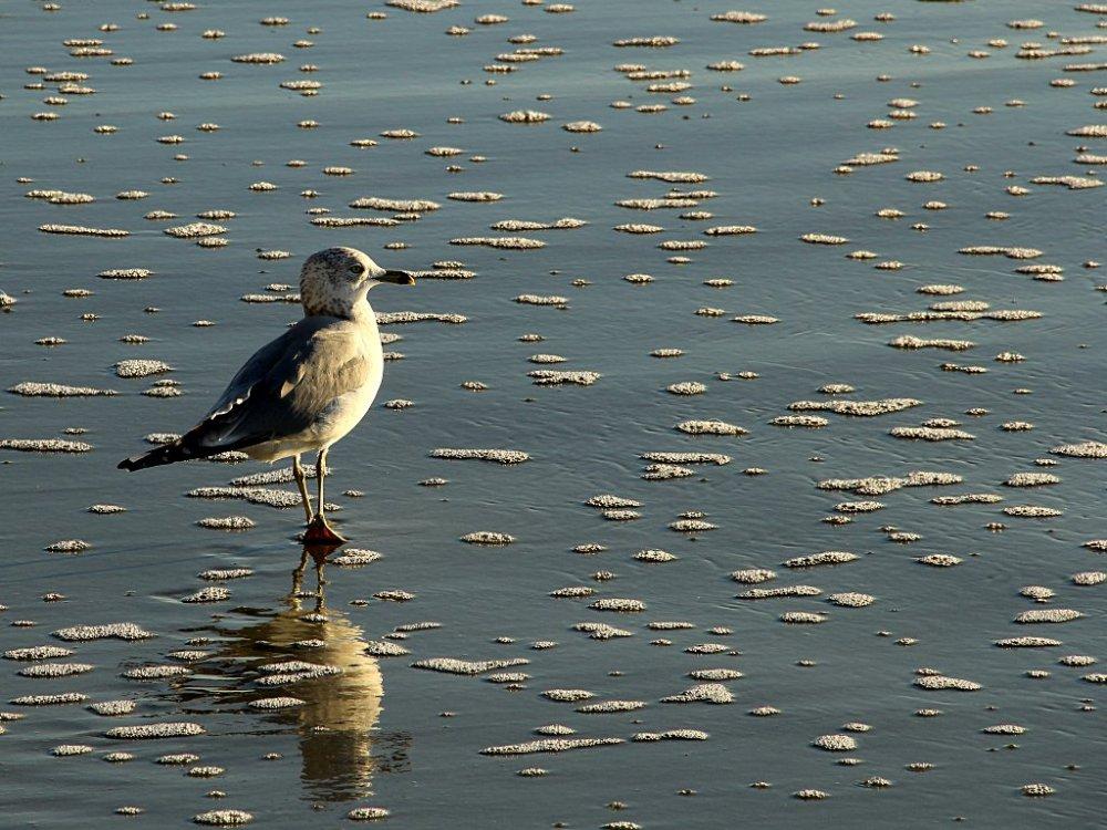 myrtle beach gull3 2015-11-27.jpg