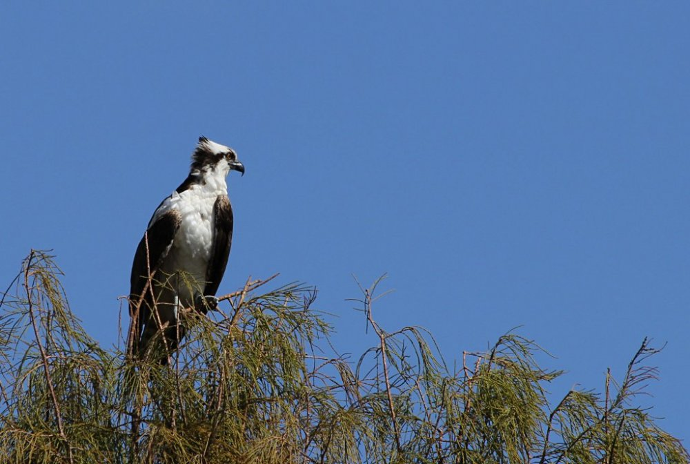 osprey in tree.jpg