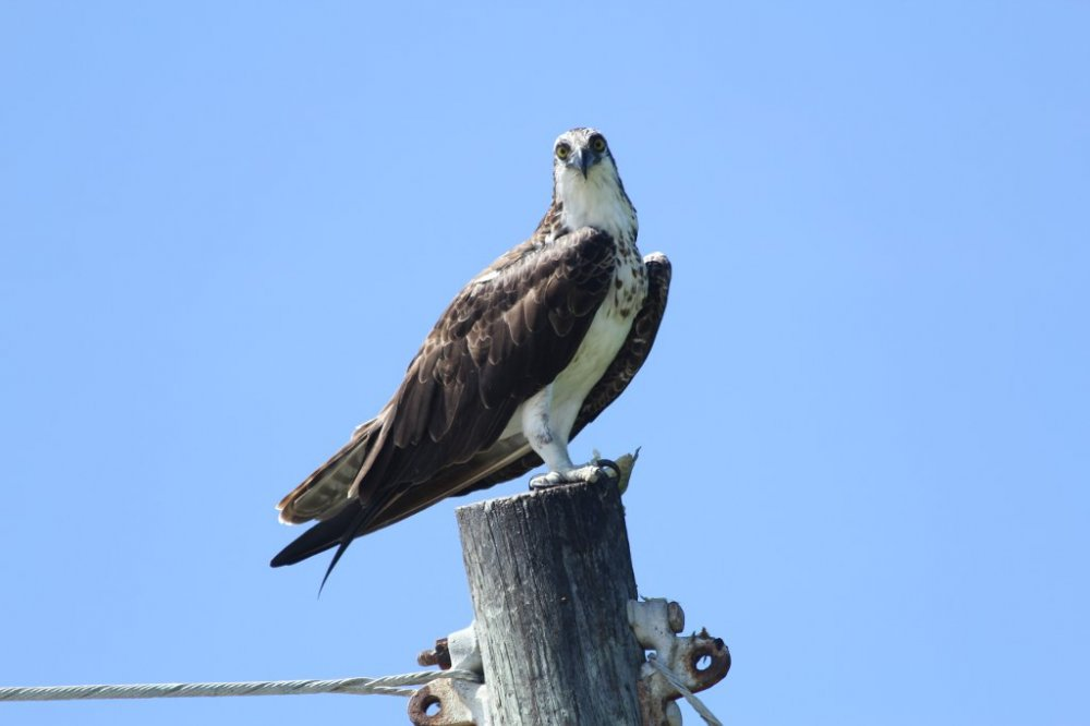 osprey on light pole close up 2017-06-25-01.jpg
