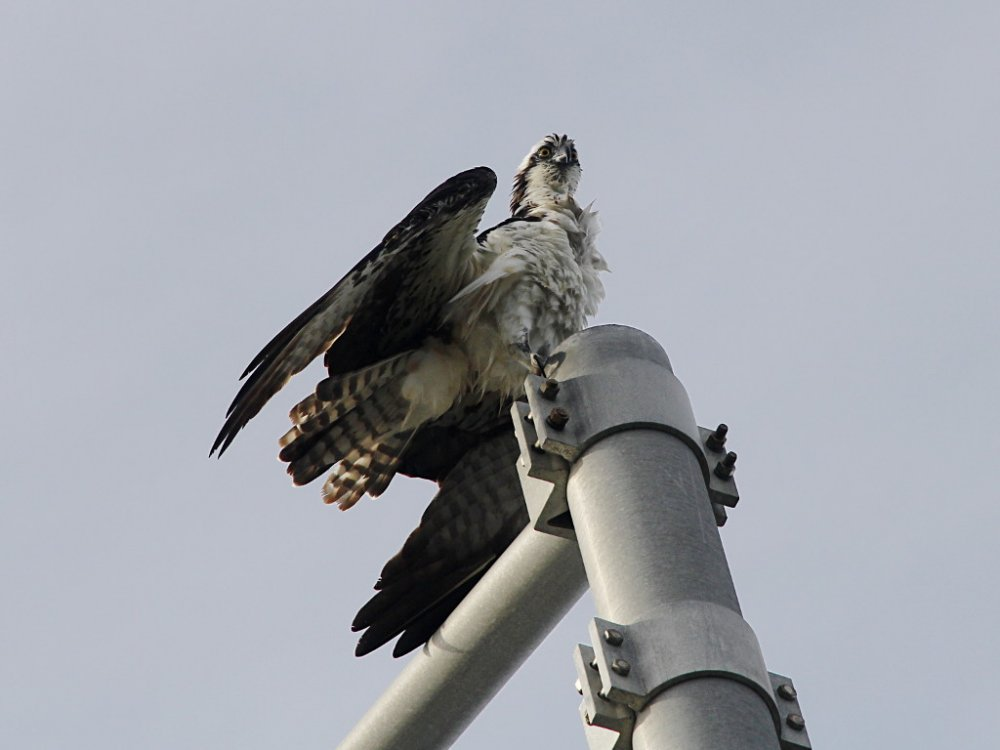 osprey on post 2018-06-06.jpg