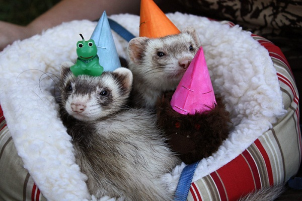 party ferrets.jpg