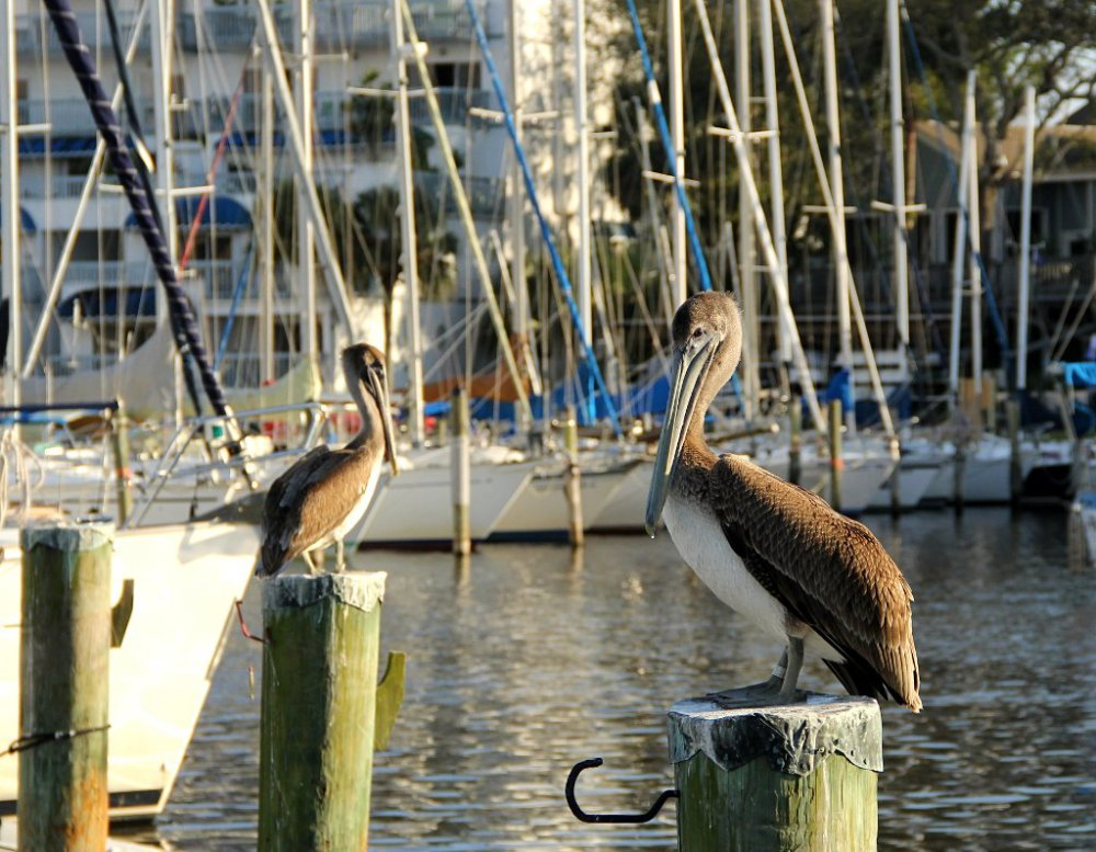 pelican 2016-02-02-02.jpg