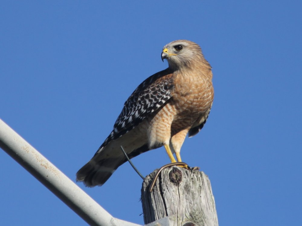 red shouldered hawk 2018-10-20-01.jpg