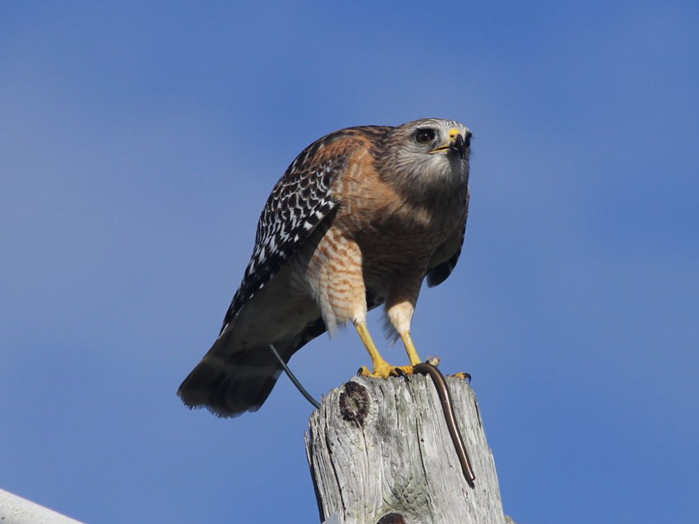 red shouldered hawk 2018-10-20-03.jpg