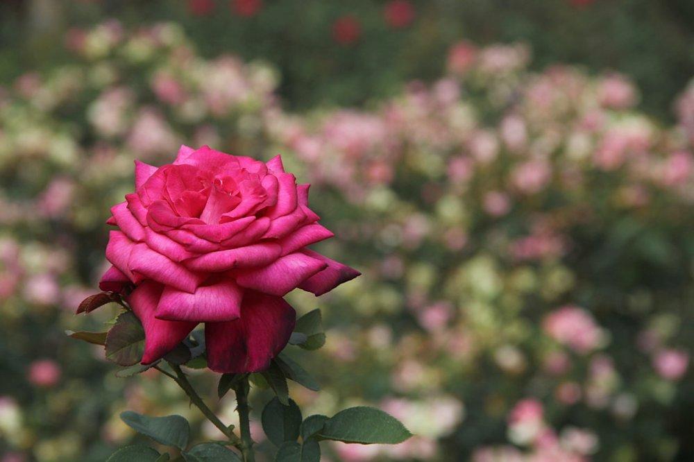 rose 2017-08-27-01.jpg