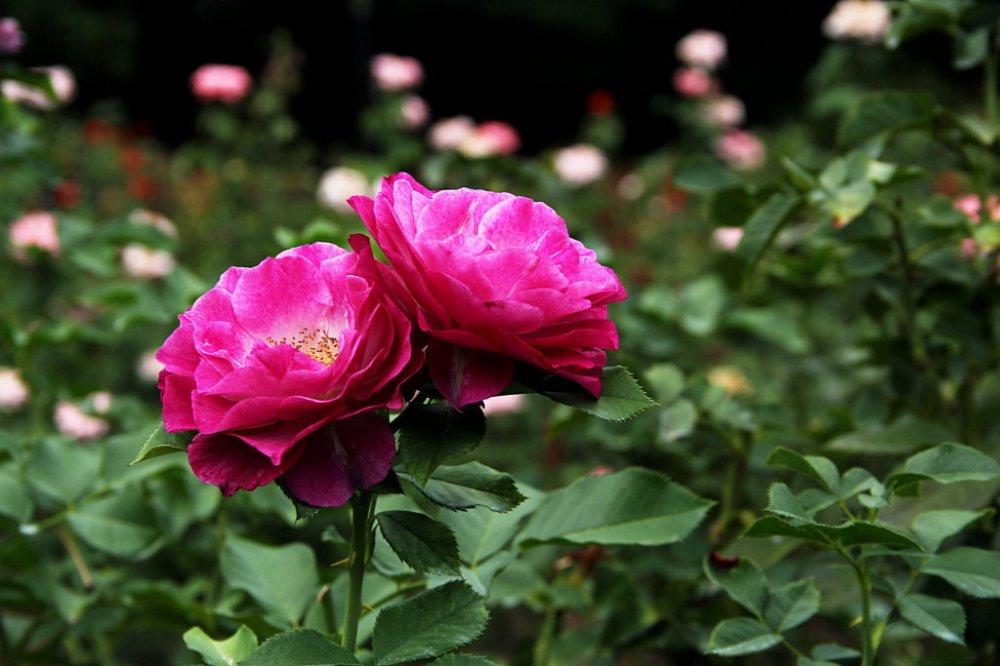 rose 2017-08-27-03.jpg