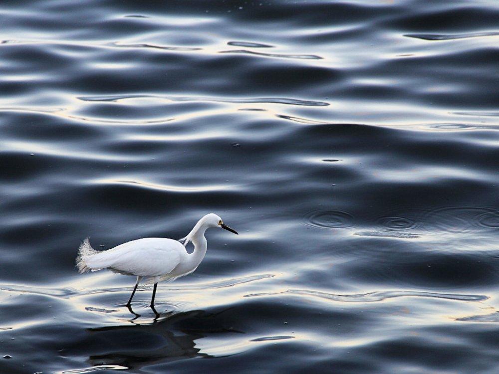 snowy egret in the waves 2019-05-18-01.jpg