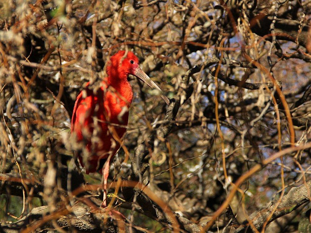sylvan scarlet ibis 2017-11-24-01.jpg
