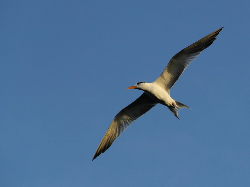tern at the eau gallie pier.jpg