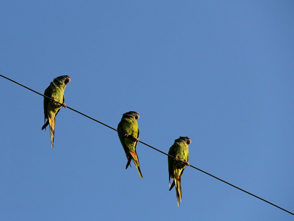 three parakeets on a wire 2018-10-18-01.jpg