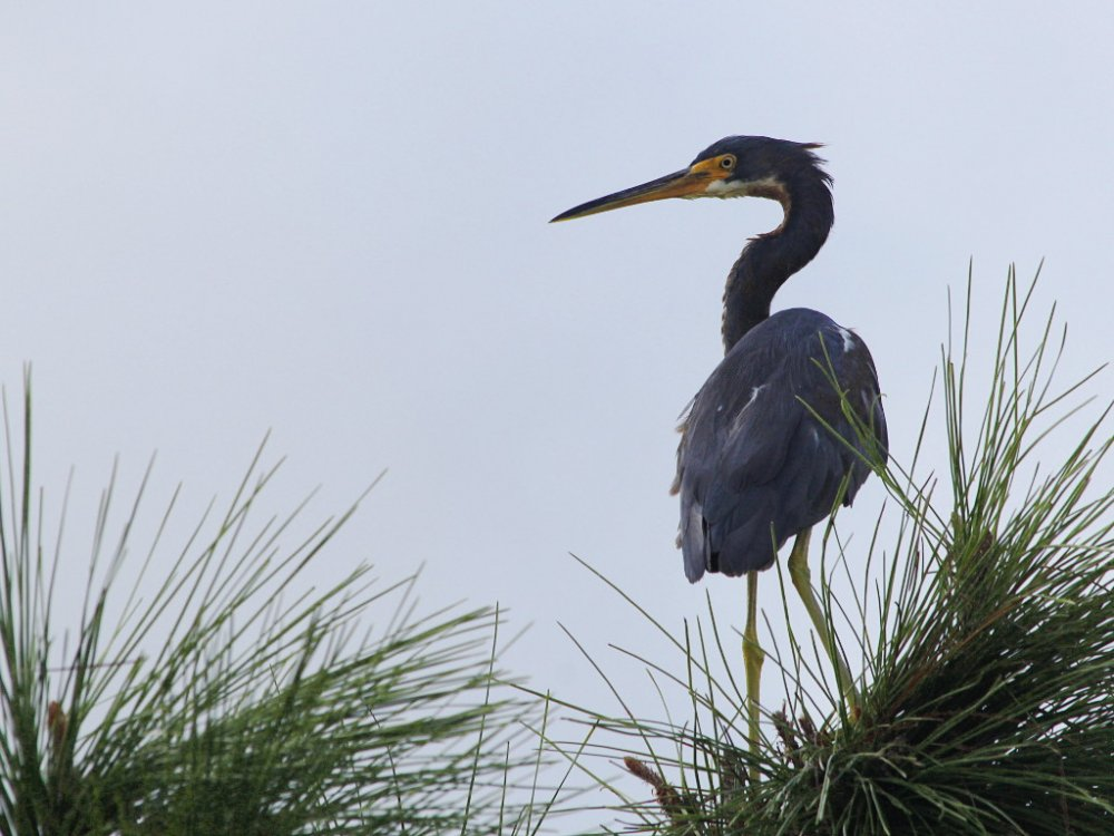 tri color heron.jpg