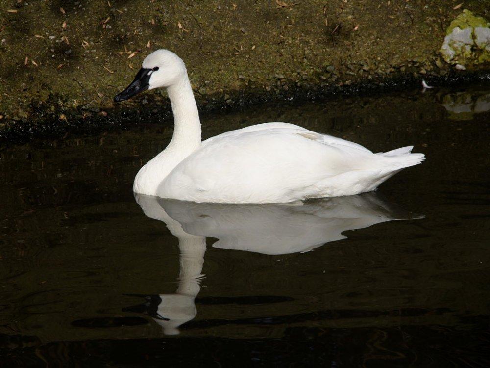 trumpeter swan 2019-12-28-01.jpg