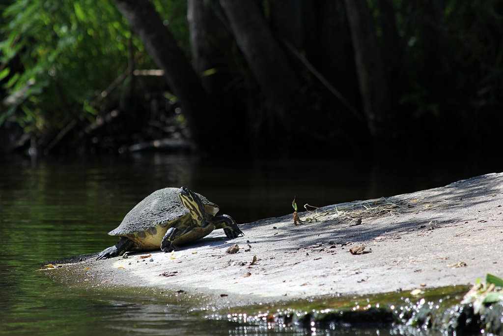 turtle on the Eau Gallie river sm.jpg