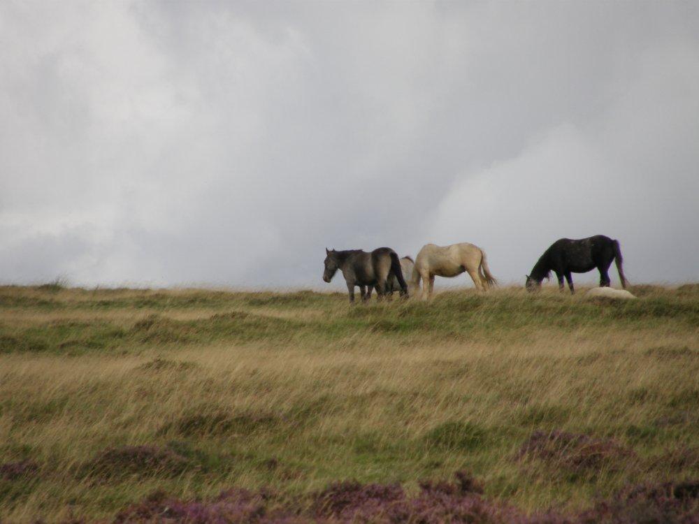 Welsh Ponies.JPG