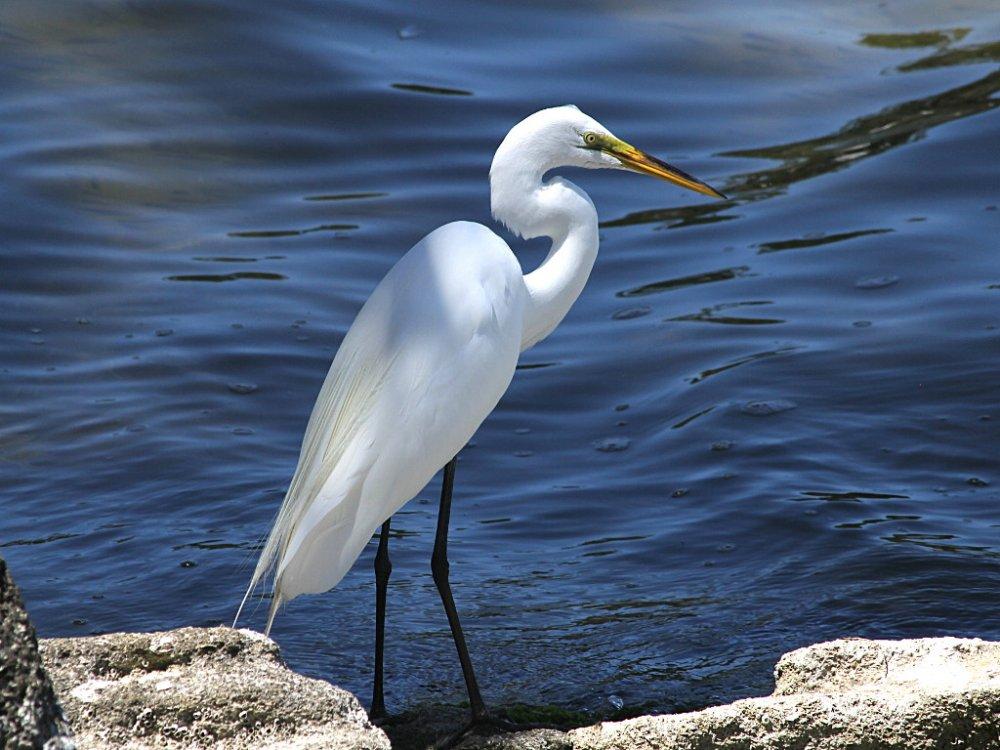 white egret 2020-04-02.jpg