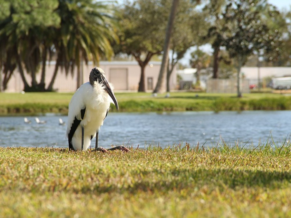 wood stork at the park.jpg